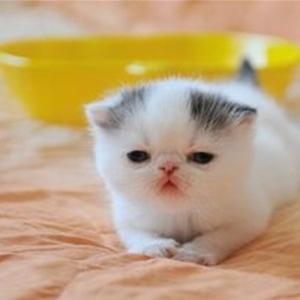 超级可爱黑白梵花加菲猫帅哥