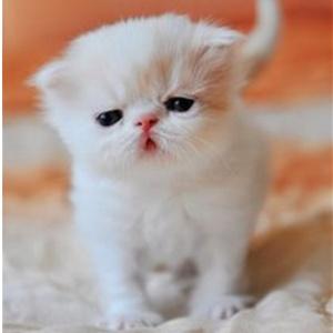 红白梵花双色加菲猫弟弟