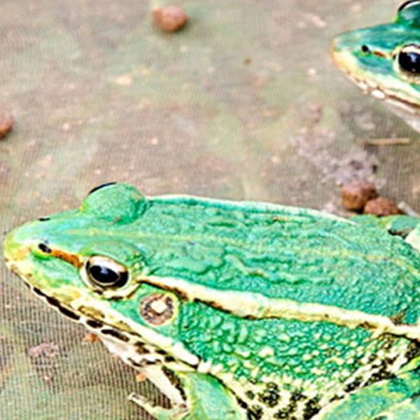 华农园青蛙养殖